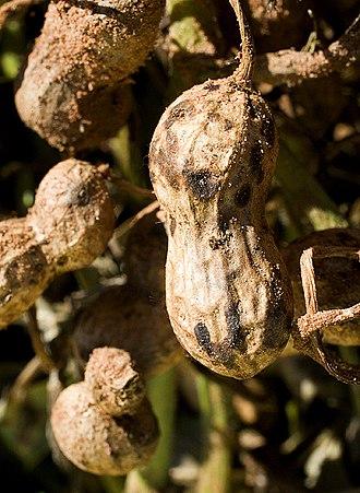Ceratobasidiaceae - Mature peanut pod infected with pod rot caused by the fungus Thanatephorus cucumeris (syn:Rhizoctonia solani)