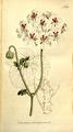 The Botanical Magazine, Plate 309 (Volume 9, 1795).png