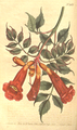 The Botanical Magazine, Plate 485 (Volume 14, 1800).png