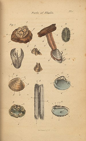 The Conchologist's First Book - The second edition of the book included colored illustrations