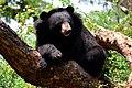 The Himalayan black bear (Ursus thibetanus) is a rare subspecies of the Asiatic black bear. 15.jpg