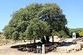 The Lone Tree of Gush Etzion (13056134715).jpg