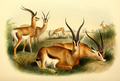 The book of antelopes (1894) Gazella granti.png