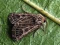 Tholera decimalis - Feathered Gothic - Плевельная совка белополосая (41034894702).jpg