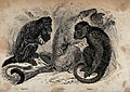 Three monkeys; capuchin, probosus and negro. Reproduction of Wellcome V0020806.jpg