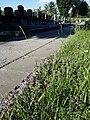 Thymus odoratissimus sl28.jpg
