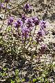 Thymus praecox bethisy-saint-martin 60 18062008 4.jpg