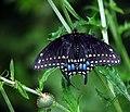 Tiger Swallowtail (460890171).jpg