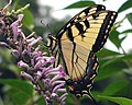 Tiger Swallowtail Butterfly (244487881).jpg