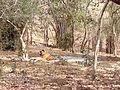 Tiger image36.jpg