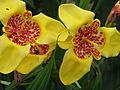 Tigridia pavonia yellow (20796754199).jpg