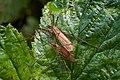 Tipulidae Latreille, 1802.jpg