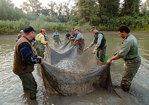 2000 Baia Mare cyanide spill - Volunteers works in Tisza