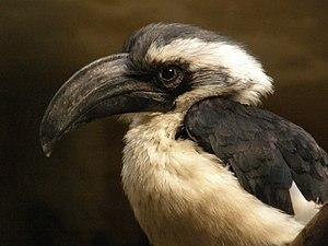 Von der Decken's hornbill - Image: Tockus deckeni (female) Antwerp Zoo 8
