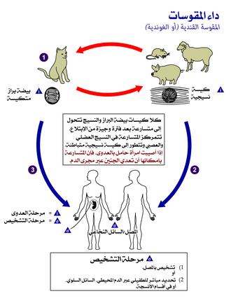 دورة حياة الفيروس