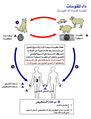 Toxoplasma gondii Life cycle PHIL 3421 lores-ar.png