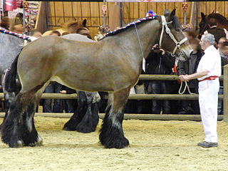 Trait du Nord A breed of heavy draft horse from Belgium and France