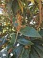 Trauttmansdorff gardens - Eriobotrya japonica 02.JPG