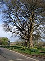 Tree and daffodils, Bascombe Road - geograph.org.uk - 370006.jpg