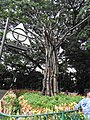Tree art-3-cubbon park-bangalore-India.jpg