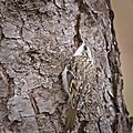 Treecreeper (49491401337).jpg