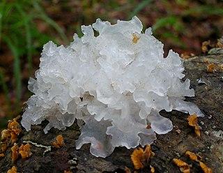 <i>Tremella fuciformis</i> species of fungus