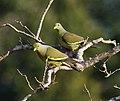 Treron bicincta -Wilpattu National Park, Sri Lanka -pair-8.jpg