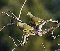 Treron bicincta -Wilpattu National Park, Sri Lanka -pair-8
