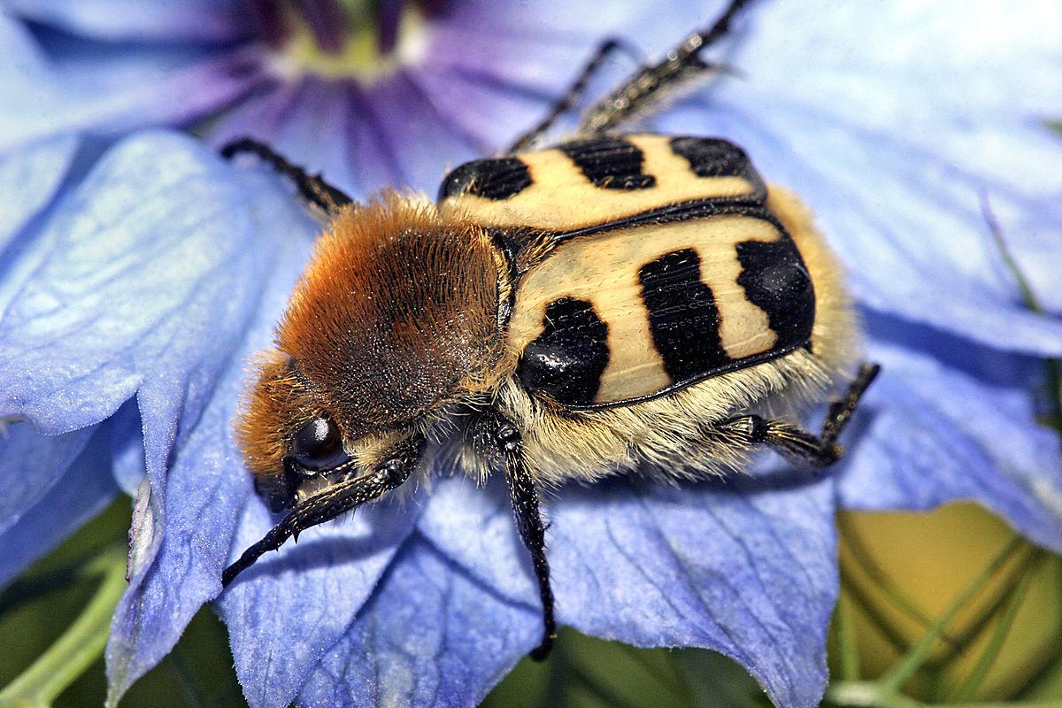 Bee beetle - Wikipedia