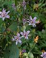 Tricyrtis formosana - Fleurs.jpg