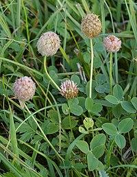 TrifoliumFragiferum1