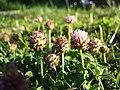 Trifolium fragiferum (subsp. fragiferum) sl43.jpg