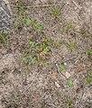 Trifolium incarnatum in Aveyron (4).jpg