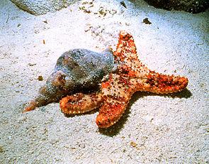 Atlantische Tritonschnecke (Charonia nobilis) frisst an einem Seestern