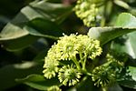Trochodendron-aralioides-flowers-close.JPG
