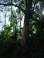 Tronco de eucalipto.jpg