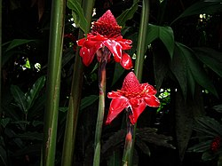 Tropical plant hilo5.jpg