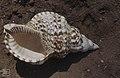 Trumpet Triton, Charonia tritonia nobilis (27093595409).jpg