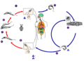 Trypanosoma cruzi lifecycle dumb.png