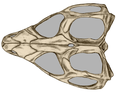 Tuatara upper side skull.png