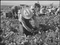 Tule Lake Relocation Center, Newell, California. Harvesting spinach. - NARA - 538375.tif