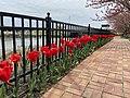 Tulips at Lewes in Bloom.jpg