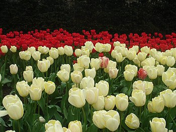 English: Tulips in Victoria Embankment Gardens...