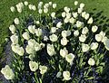 Tulpenbeet - panoramio.jpg