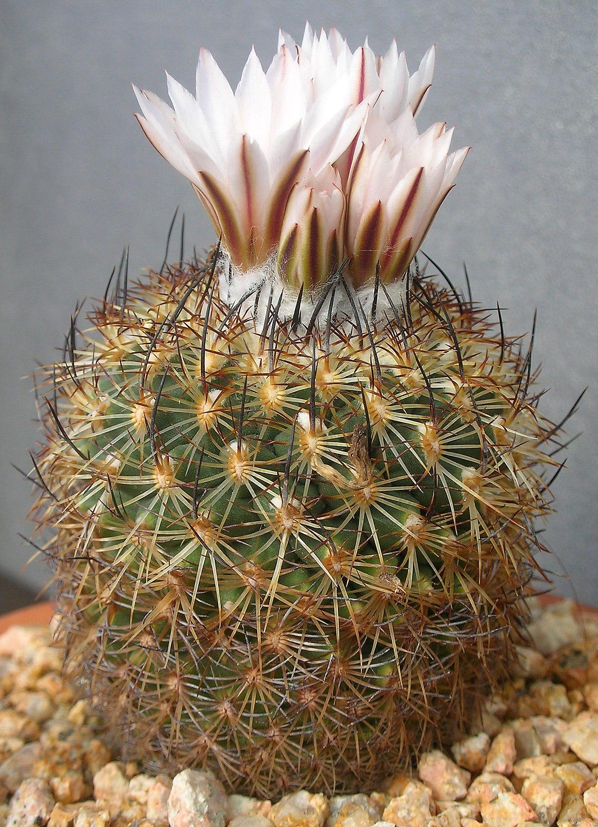 turbinicarpus ysabelae