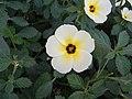 Turnera ulmifolia - 3.JPG