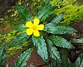 Turnera ulmifolia 10.JPG