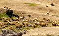 Tussock on Farmland, New Zealand.jpg