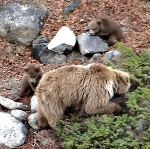 Himalayan brown bear - Himalayan brown bear with cubs on the trek from Gangotri to Gaumukh in Uttarakhand, India.