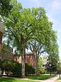 Two Elm Trees near Silsby Hall at Dartmouth College, Hanover, NH June 2011.jpg